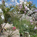 Dieramas at Trenarth Garden